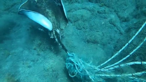 Compassionate Diver Releases a Helpless Stingray That Was Tangled Up in an Ilegal Fishing Line