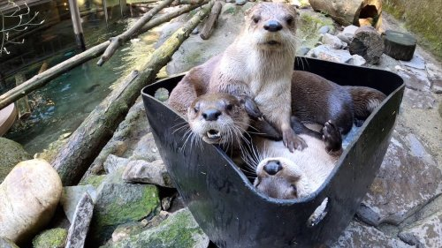 An Adorable Trio of Rescued River Otters Playfully Battle One Another Inside a Bucket Full of Ice Cubes