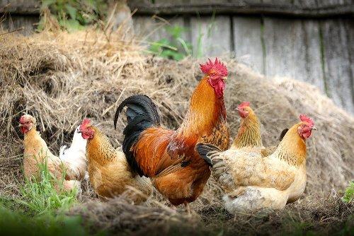 Quand des poules peuvent faire annuler une vente immobilière à la campagne