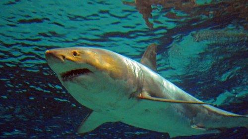 Malvoyants, les requins confondraient les surfeurs et les otaries