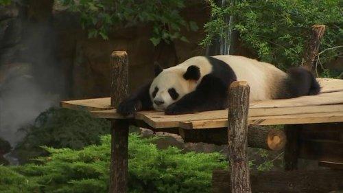 Zoo de Beauval : la naissance des bébés pandas est imminente