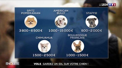 Les petits chiens, cibles de choix des voleurs