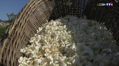 La récolte du jasmin commence sur les collines de Grasse