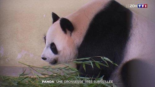 Panda : une grossesse gémellaire très surveillée au zoo de Beauval