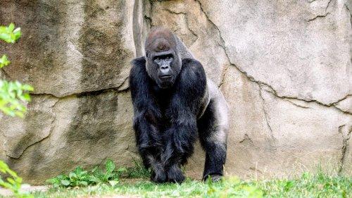 Des gorilles infectés au zoo : faut-il s'inquiéter des contaminations chez les animaux ?