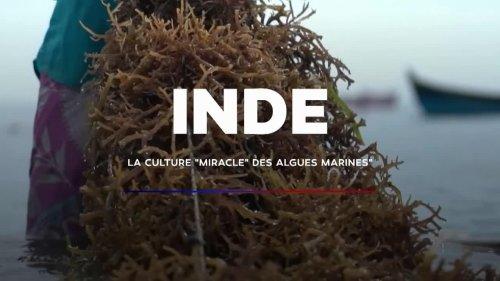 """VIDÉO - Inde : la culture """"miracle"""" des algues rouges"""