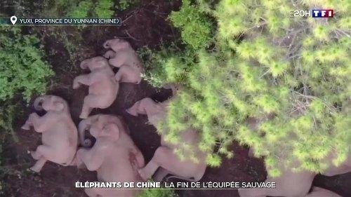 Éléphants de Chine : la fin de l'équipée sauvage
