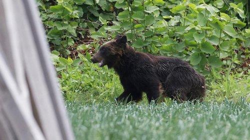 Japon : un ours brun abattu après avoir blessé quatre personnes