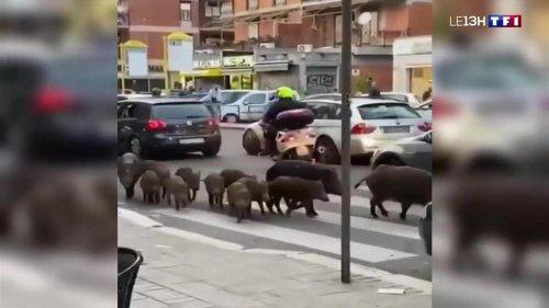 Les sangliers envahissent Rome