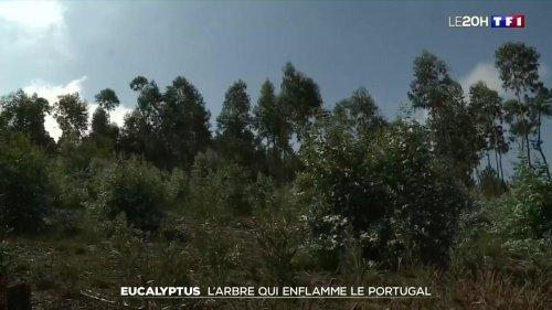 Eucalyptus, l'arbre qui enflamme le Portugal