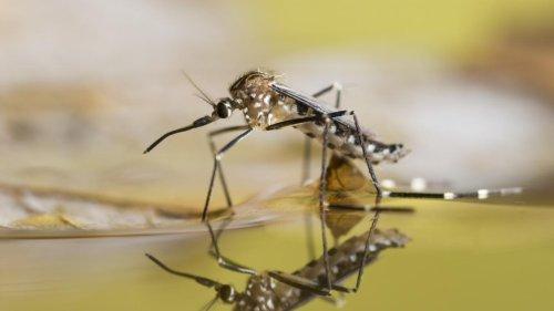 Pourquoi certaines personnes attirent-elles plus les moustiques ?