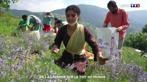 Inde : la lavande se cultive aussi sur le toit du monde