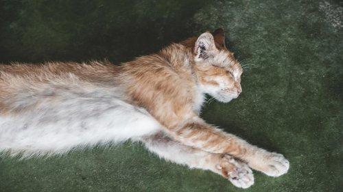 Dieppe : affamé et bloqué dans un appartement depuis 10 jours, le chat Marius sauvé par les pompiers
