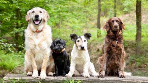 Selon cette étude, les chiens n'obéissent pas aux menteurs