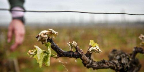 Episode de gel : « Quand le vin s'enrhume en Gironde, ce n'est pas bon »