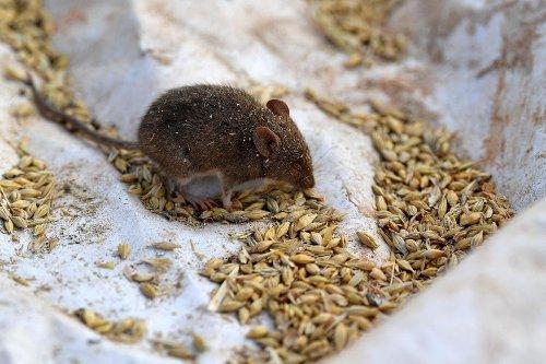 Australie: après les catastrophes climatiques, des fermiers victimes de souris dévastatrices (photos et vidéo)