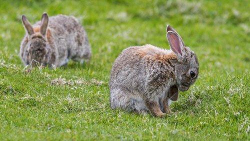 À Paris, les lapins des Invalides obtiennent quelques semaines de sursis