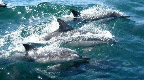 Le navire océanographique Thalassa capture cinq dauphins par accidentlors d'une campagne scientifique