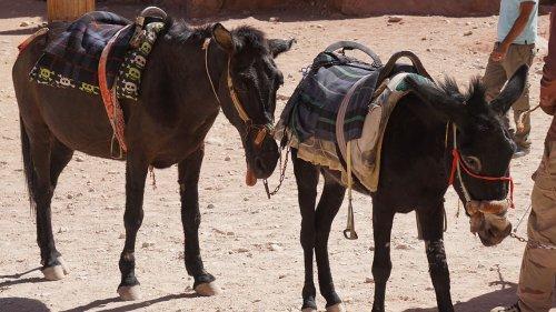 Petra, da patrimonio dell'umanità a disgrazia per gli animali - LifeGate