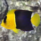 Aquarium Mates for Your Tang Fish Sale at LiveAquaria®