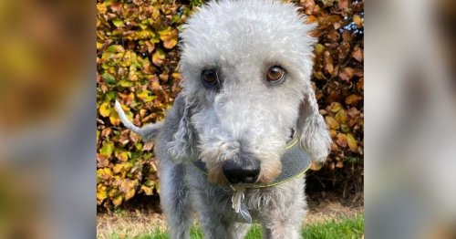 Real star of British Bake Off is Bedlington Terrier called Prudence