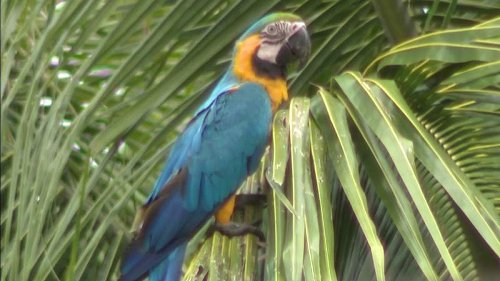 Wild macaw parrots need to be protected from poachers in Miami-Dade, residents say