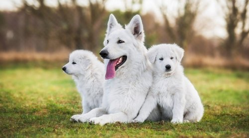 Biggest, Whitest, Fluffiest Dogs You'll Love