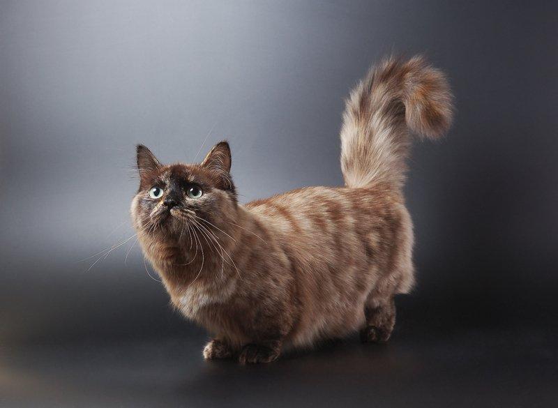 11 Dwarf Cat Breeds You'll Love