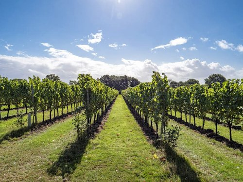 Gusbourne Wine Harvest Tour: Fine English Wines from Kent