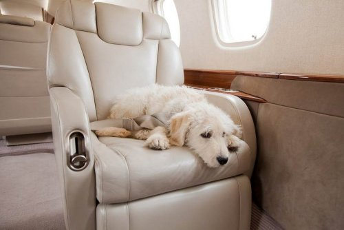 A rather rich pet lover booked the entire business class of a 170 seater Airbus jet for his dog to travel in utmost comfort and privacy.