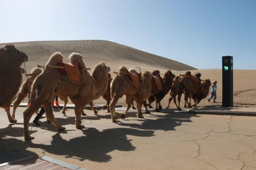 Not Morocco or Saudi Arabia. The worlds first traffic signal for camels has been installed in China.