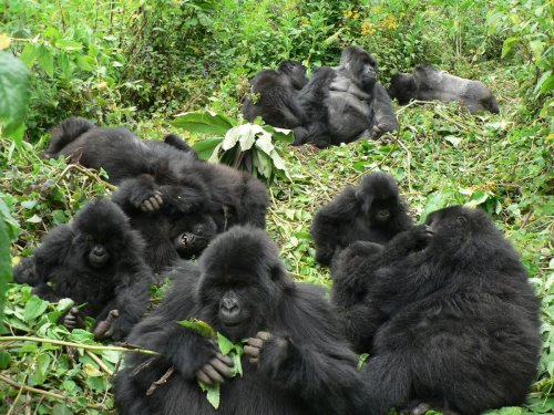 Researchers are urging Instagrammers to keep their distance from gorillas as their selfies can pass Covid-19 to the endangered species
