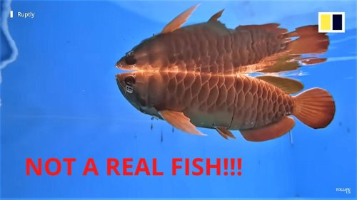A status symbol for tycoons and the yakuza, costing $300,000 this is the world's most expensive pet fish. Now a Chinese company has created a drone clone that looks and even moves like the real thing.