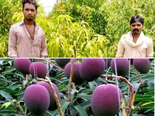 An Indian farmer couple hit the jackpot when they accidentally grew the worlds most expensive mangoes that can sell for upto $200 a piece. Now they have hired 3 men and 9 dogs to guard it.