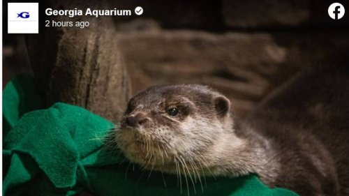 Otters with runny noses and coughs test positive for COVID-19 at Georgia Aquarium