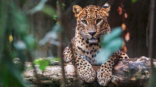 Wie die letzten 41 Leoparden die Einwohner Mumbais beschützen