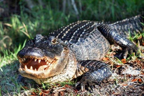 Krass! DIESER Alligator wurde wegen seines Mageninhalts weltberühmt