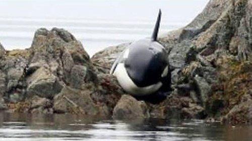 Gigantischer Orca wird zwischen Felsen eingeklemmt. Dann haben Männer eine Idee ..