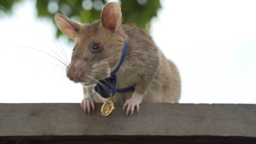 DIESE Riesen-Ratte rettete Tausende Menschenleben