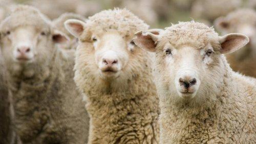 Schafe finden Cannabis-Plantage, fressen Weed & laufen bekifft Amok