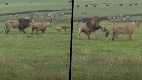 David gegen Goliath: Hund legt sich mit Löwe an