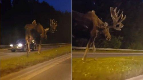 Netz-Sensation: Autofahrer filmt nachts Monster-Elch