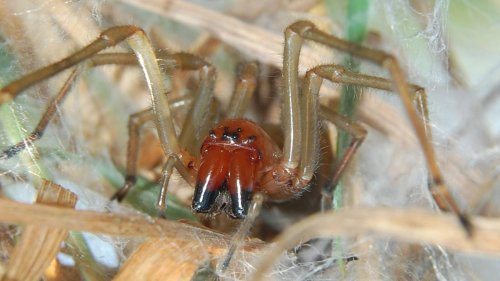 Nach Biss sofort den Arzt aufsuchen - Diese Spinne ist wieder da und will in deine Wohnung