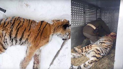 Sibirischer Tiger ist dem Tode geweiht - dann triff er auf Menschen