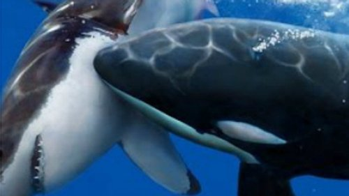 Drohne filmt tödliche Jagd: Killer-Wal versus Hai