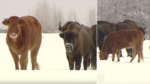 Kuh entflieht Farm – und lebt seitdem in einer Herde Bisons