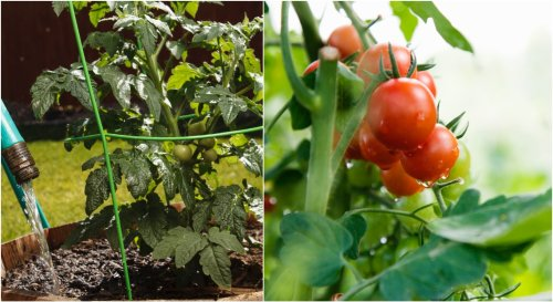A quelle fréquence faut-il arroser ses tomates ?