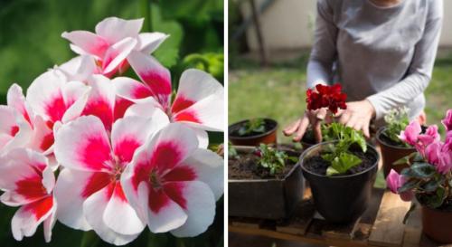 Comment avoir de beaux géraniums durant tout l'été ? Nos conseils !