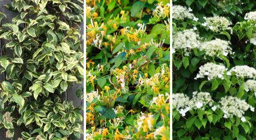 9 plantes grimpantes qui subliment les coins d'ombre du jardin