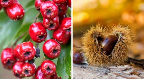 Baies, châtaignes et fruits d'automne : les reconnaître et les cueillir en forêt